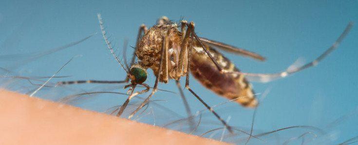 farlige myg